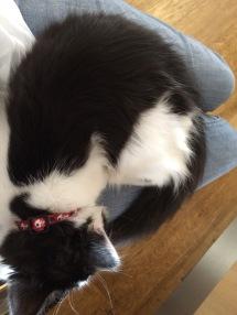 Little lap cat